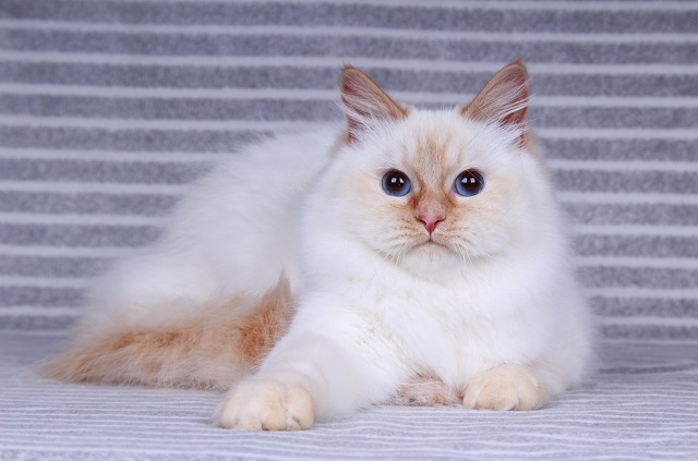 Siberian Cats of CT